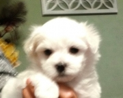 academic Maltese Puppies Both M/f Avail TEXT ONLY:  (((( 937 x 469 x 8986 )))))*