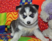 admirable Siberian Husky Puppies Both M/f Avail TEXT ONLY:  (((( 937 x 469 x 8986 )))))*