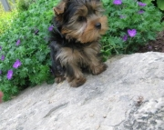 agreeable Yorkshire Terrier Puppies for Sale Both M/f Avail TEXT ONLY:  (((( 937 x 469 x 8986 )))