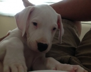 attentive Dogo Argentino puppies for Sale Both M/f Avail TEXT ONLY:  (((( 937 x 469 x 8986 )))))*