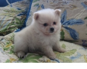 amazing Pomeranian Puppies for Sale Both M/f Avail TEXT ONLY:  (((( 937 x 469 x 8986 )))))*