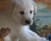 athletic Labrador Retriever puppies for Sale Both M/f Avail TEXT ONLY:  (((( 937 x 469 x 8986 )))
