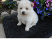 amused Pomeranian Puppies for Sale Both M/f Avail TEXT ONLY:  (((( 937 x 469 x 8986 )))))*