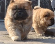 dependable Chow Chow puppies for Sale Both M/f Avail TEXT ONLY:  (((( 937 x 469 x 8986 )))))*