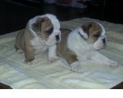 careful English Bulldog Puppies Both M/f Avail TEXT ONLY:  (((( 937 x 469 x 8986 )))))*