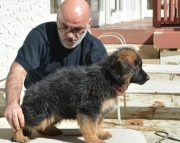 decent German Sheperd  puppies for Sale Both M/f Avail TEXT ONLY:  (((( 937 x 469 x 8986 )))))*