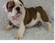 carefree English Bulldog Puppies Both M/f Avail TEXT ONLY:  (((( 937 x 469 x 8986 )))))*