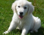 complete Golden Retriever puppies for Sale Both M/f Avail TEXT ONLY:  (((( 937 x 469 x 8986 )))))*