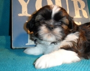 chief Shih Tzu Puppies Both M/f Avail TEXT ONLY:  (((( 937 x 469 x 8986 )))))*