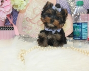 cloudy Yorkshire Terrier Puppies for Sale Both M/f Avail TEXT ONLY:  (((( 937 x 469 x 8986 )))))*