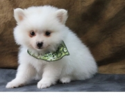 compassionate Pomeranian Puppies for Sale Both M/f Avail TEXT ONLY:  (((( 937 x 469 x 8986 )))))*