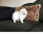 comfortable Pomeranian Puppies for Sale Both M/f Avail TEXT ONLY:  (((( 937 x 469 x 8986 )))))*