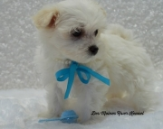 cheerful Maltese Puppies Both M/f Avail TEXT ONLY:  (((( 937 x 469 x 8986 )))))*