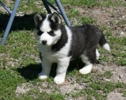 classic Siberian Husky Puppies Both M/f Avail TEXT ONLY:  (((( 937 x 469 x 8986 )))))*