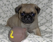 caring Pug Puppies Both M/f Avail TEXT ONLY:  (((( 937 x 469 x 8986 )))))*