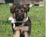 deficient German Sheperd  puppies for Sale Both M/f Avail TEXT ONLY:  (((( 937 x 469 x 8986 )))))*