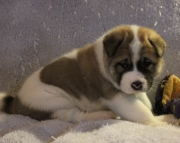 dazzling Akita puppies for Sale Both M/f Avail TEXT ONLY:  (((( 937 x 469 x 8986 )))))*