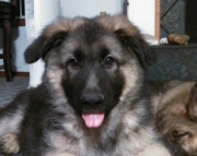 fantastic German Sheperd  puppies for Sale Both M/f Avail TEXT ONLY:  (((( 937 x 469 x 8986 )))))*