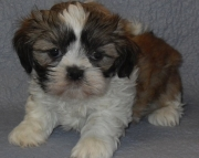 eager Shih Tzu Puppies Both M/f Avail TEXT ONLY:  (((( 937 x 469 x 8986 )))))*