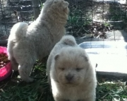 general Chow Chow puppies for Sale Both M/f Avail TEXT ONLY:  (((( 937 x 469 x 8986 )))))*