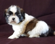 dutiful Shih Tzu Puppies Both M/f Avail TEXT ONLY:  (((( 937 x 469 x 8986 )))))*
