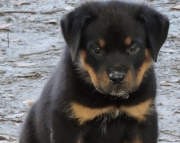 elated German Rottweiler Puppies Both M/f Avail TEXT ONLY:  (((( 937 x 469 x 8986 )))))*