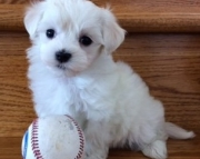 dramatic Maltese Puppies Both M/f Avail TEXT ONLY:  (((( 937 x 469 x 8986 )))))*