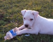 faithful Dogo Argentino puppies for Sale Both M/f Avail TEXT ONLY:  (((( 937 x 469 x 8986 )))))*