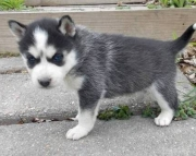edible Siberian Husky Puppies Both M/f Avail TEXT ONLY:  (((( 937 x 469 x 8986 )))))*