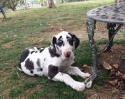friendly Great Dane puppies for Sale Both M/f Avail TEXT ONLY:  (((( 937 x 469 x 8986 )))))*