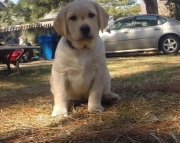 exciting Labrador Retriever puppies for Sale Both M/f Avail TEXT ONLY:  (((( 937 x 469 x 8986 )))))*