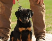 elastic German Rottweiler Puppies Both M/f Avail TEXT ONLY:  (((( 937 x 469 x 8986 )))))*