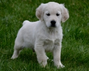 excited Golden Retriever puppies for Sale Both M/f Avail TEXT ONLY:  (((( 937 x 469 x 8986 )))))*