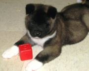 famous Akita puppies for Sale Both M/f Avail TEXT ONLY:  (((( 937 x 469 x 8986 )))))*