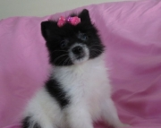 exalted Pomeranian Puppies for Sale Both M/f Avail TEXT ONLY:  (((( 937 x 469 x 8986 )))))*