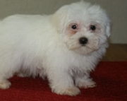 diligent Maltese Puppies Both M/f Avail TEXT ONLY:  (((( 937 x 469 x 8986 )))))*
