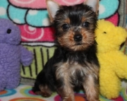 healthy Yorkshire Terrier Puppies for Sale Both M/f Avail TEXT ONLY:  (((( 937 x 469 x 8986 )))))*
