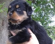 handsome German Rottweiler Puppies Both M/f Avail TEXT ONLY:  (((( 937 x 469 x 8986 )))))*