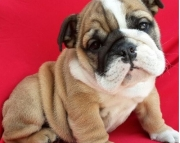 generous English Bulldog Puppies Both M/f Avail TEXT ONLY:  (((( 937 x 469 x 8986 )))))*