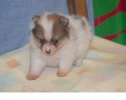 homely Pomeranian Puppies for Sale Both M/f Avail TEXT ONLY:  (((( 937 x 469 x 8986 )))))*