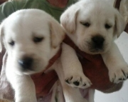 hospitab Labrador Retriever puppies for Sale Both M/f Avail TEXT ONLY:  (((( 937 x 469 x 8986 )))))*