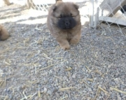magnificent Chow Chow puppies for Sale Both M/f Avail TEXT ONLY:  (((( 937 x 469 x 8986 )))))*