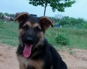 kindhearted German Sheperd  puppies for Sale Both M/f Avail TEXT ONLY:  (((( 937 x 469 x 8986 )))))*