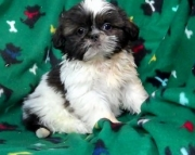 glassy Shih Tzu Puppies Both M/f Avail TEXT ONLY:  (((( 937 x 469 x 8986 )))))*