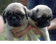 giant Pug Puppies Both M/f Avail TEXT ONLY:  (((( 937 x 469 x 8986 )))))*