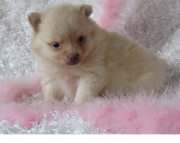 heavenly Pomeranian Puppies for Sale Both M/f Avail TEXT ONLY:  (((( 937 x 469 x 8986 )))))*