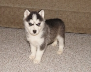 glorious Siberian Husky Puppies Both M/f Avail TEXT ONLY:  (((( 937 x 469 x 8986 )))))*