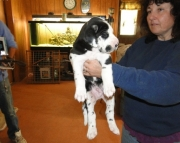 lovable Great Dane puppies for Sale Both M/f Avail TEXT ONLY:  (((( 937 x 469 x 8986 )))))*