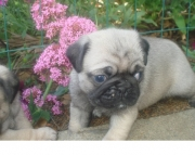 genuine Pug Puppies Both M/f Avail TEXT ONLY:  (((( 937 x 469 x 8986 )))))*