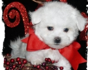 glamorous Maltese Puppies Both M/f Avail TEXT ONLY:  (((( 937 x 469 x 8986 )))))*